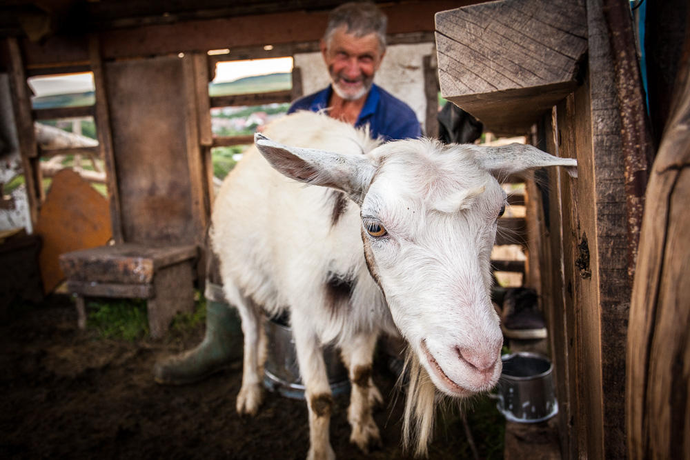 Goat being milked
